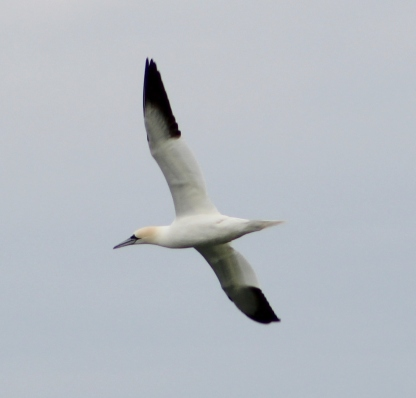 Northern Gannet (Image by BirdNation)