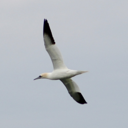 Northern Gannet (Image by BirdNation)