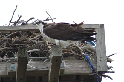 Osprey (Image by BirdNation)