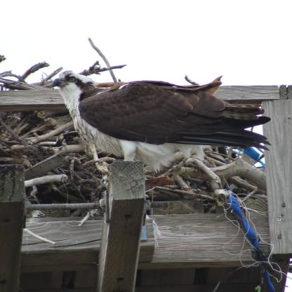 Osprey (Image by BirdNation)