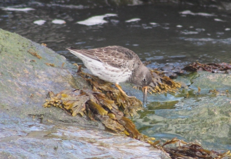 Purple Sandpiper (Image by BirdNation)