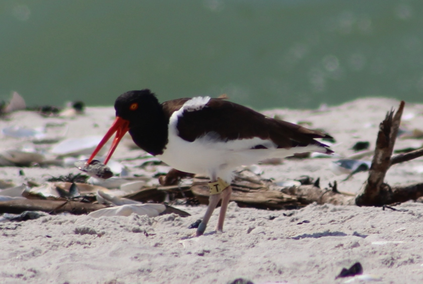 American oystercatcher T2 2016 3