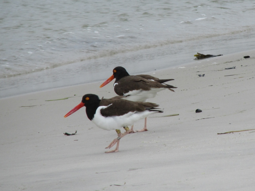 American oystercatcher T2 2016 5