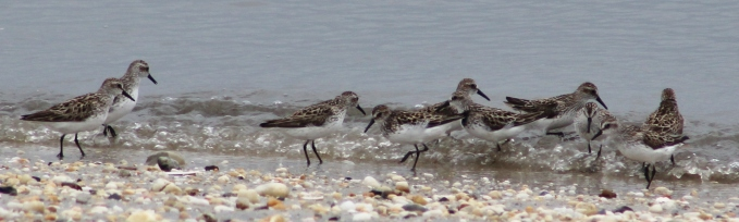 Semipalmated Sandpipers (Image by BirdNation)