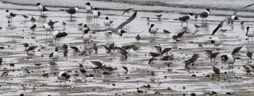 Shorebirds and Gulls 1 (Image by David Horowitz)
