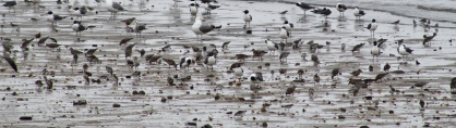 Shorebirds and Gulls 2 (Image by David Horowitz)