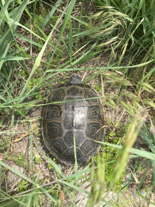 Northern Diamondback Terrapin (Image by BirdNation)