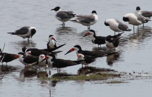 Black Skimmers and Laughing Gulls (Image by BirdNation(
