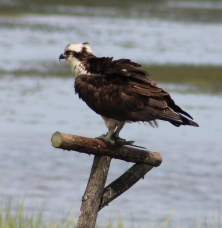 Osprey with a meal (Image by BirdNation)