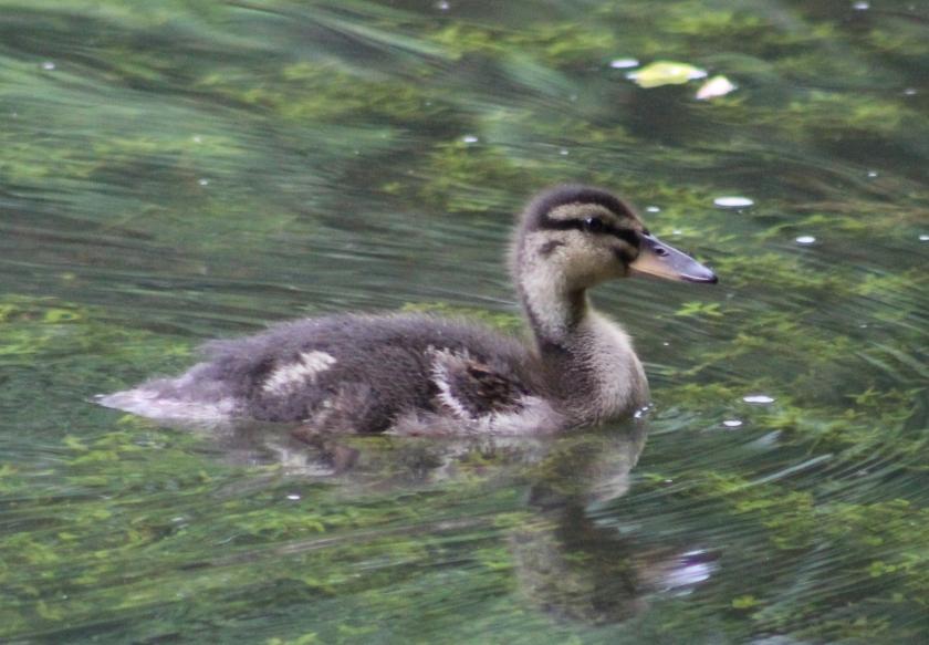 mallard duckling (2)