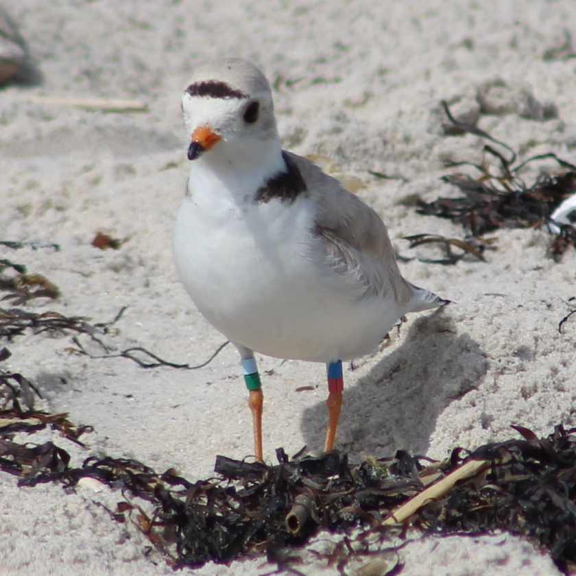 Piping Plover #2