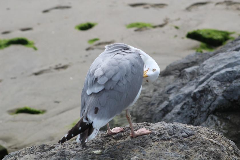 preening herring gull