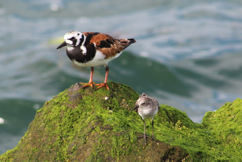 ruddy turnstone and semipalmated sandpiper