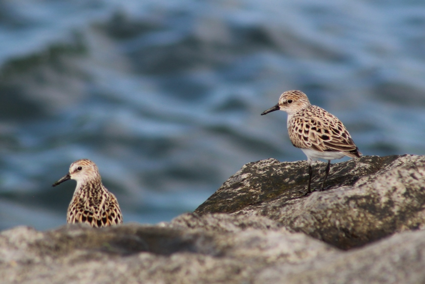 Semipalmated sandpipers on rock