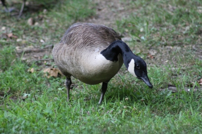 """You looking at me?""...young Canada Goose (Image by BirdNation)"
