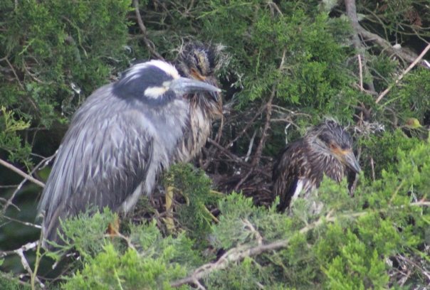 Yeloow-crowned Night-Heron with chicks (Image by BirdNation)