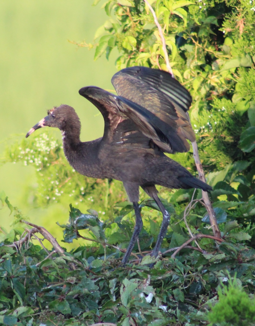 Glossy Ibis immature (Image by BirdNation