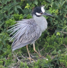 Yellow-crowned Night-Heron (Image by BirdNation)