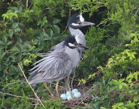 Yellow-crowned Night-Heron pair with eggs (Image by BirdNation)