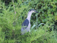 Black-crowned Night-Heron (Image by BirdNation)