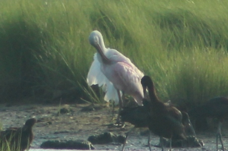 Preening Spoonbill (Image by David Horowitz)