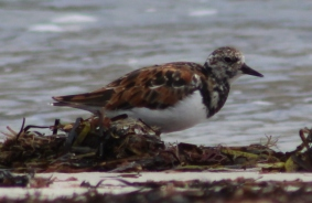 Ruddy Turnstone (Image by BirdNation)