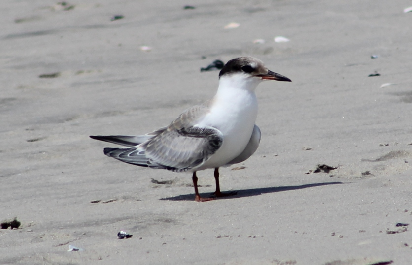 Common Tern immature (Image by BirdNation)