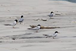 Least Terns (Image by BirdNation)