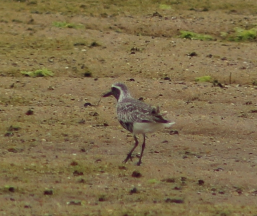 Black-bellied Plover (Image by David Horowitz)