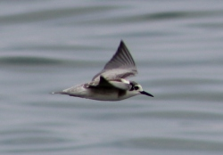 Black Tern juvenile (Image by BirdNation)