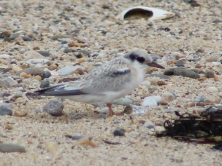 Least Tern juvenile (Image by BirdNation)