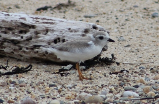 Piping Plover juvenile (Image by BirdNation)