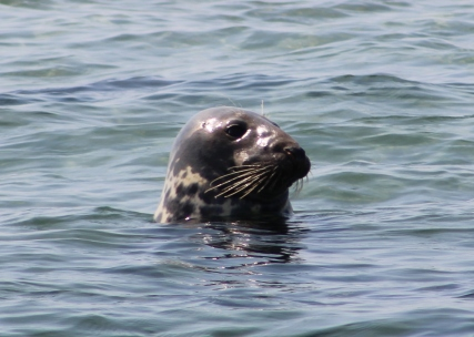 Seal Head Shot 2 (Image by David Horowitz)