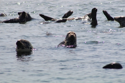 Grey Seals (Image by David Horowitz)