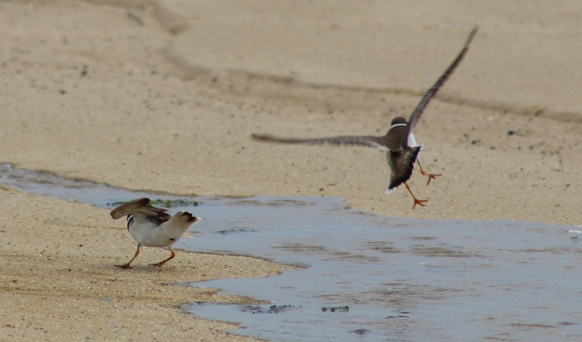 Semipalmated Plovers doing...Something. (Image by BirdNation)
