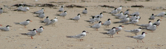 Flock of various Terns (Image by David Horowitz)