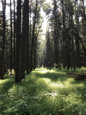 Pine Forest (Image by BirdNation)