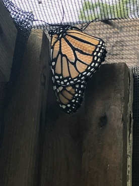 Monarch Butterfly (Image by BirdNation)