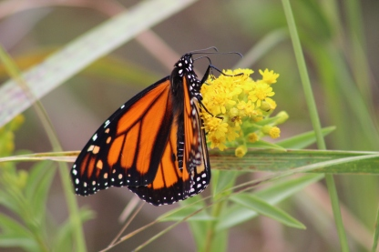 Monarch on Goldenrod (Image by BirdNation)