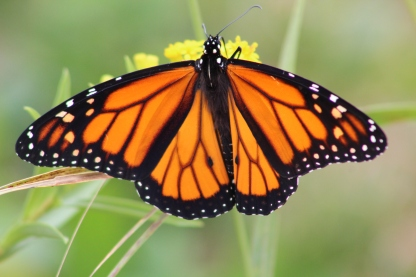 Monarch (Image by BirdNation)