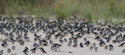 Tree Swallow flock rest (Image by BirdNation)