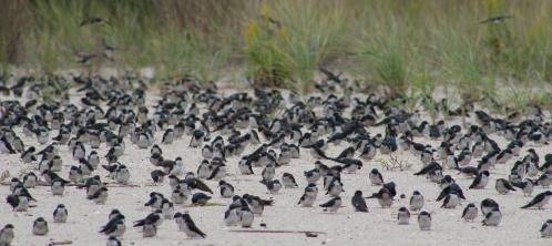 Tree Swallow flock rest (Image by BirdNation)